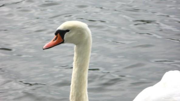 Lancaster_Swan_1